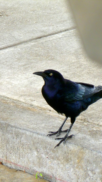 GALGrackle